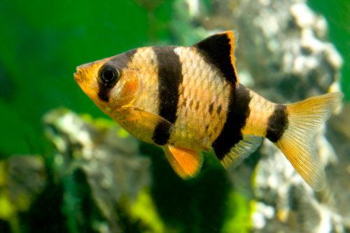 Барбус суматранский – в вашем аквариуме.Большой барбус суматранский с четырьмя черными полосками золотисто жёлтого цвета,на серо-зелёном фоне.