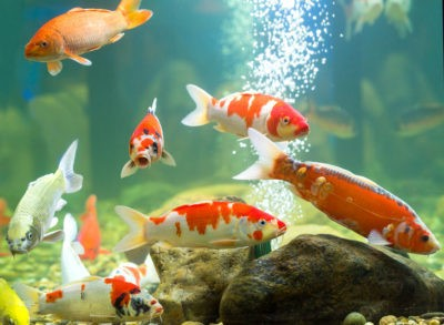 Карп в аквариуме: один большой карп кои на фоне других карпов кои черно-бело-оранжевого цвета