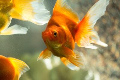 Золотые рыбки:большая золотая рыбка на фоне дву других золотых рыбок.