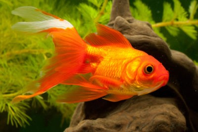 Золотые рыбки:большая огненная золотая рыбка с огромным хвостовым плавником на фоне аквариумных растений.