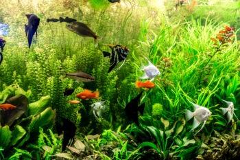 Тропический пресноводный аквариум с рыбами,меченосцами и скаляриями.