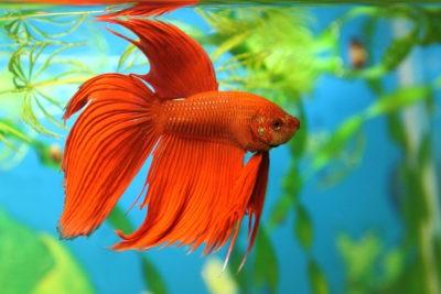 Bettfa splendens или бетта бойцовая красного цвета на фоне аквариумных растений.