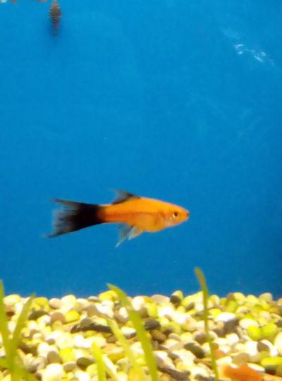 Меченосец – популярная аквариумная рыбка:самец меченосца на синем фоне около грунта аквариума.