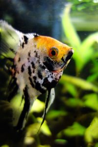Скалярия большая черно белая рыбка на фоне аквариумных растений.