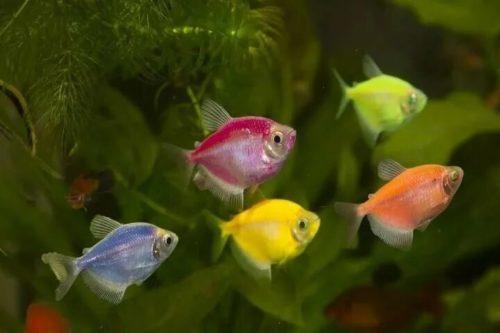 пять тернеций в стайке оранжевого,жёлтого,голубого,салатового,розового цветов на фоне аквариумных растений.