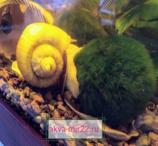 кладофора-эгагропила мох в виде зелёного шара и на нём жёлтая ампулярия улиткф