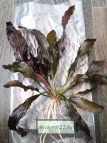 Эхинодорус аквариумное растение зелёно-коричневого цвета и белыми корешками.