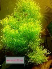 Риччи сбившаяся в островок жёлто-зелёного цвета растущая на дне аквариума